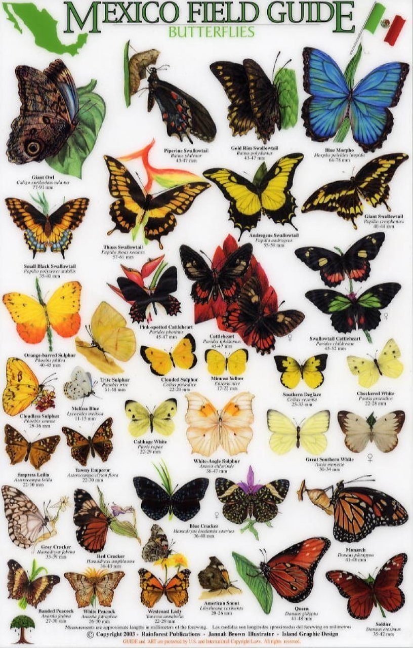 butterfly identification guide north america