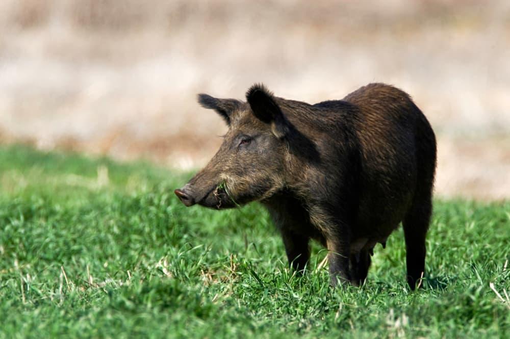 north carolina boar hunting guides