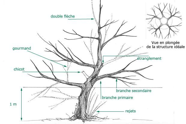 guide taille arbre fruitier secret de la taille