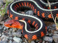 california king snake breeding guide