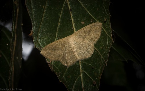 manitoba moths a field guide