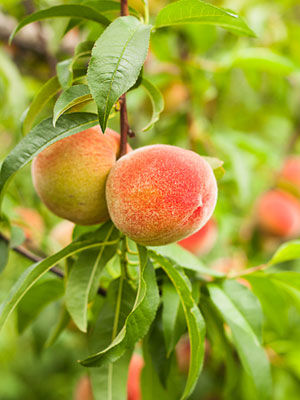 rogers channel guide peach tree